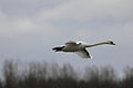 Cygnus olor -Rutland Water, Rutland, England -flying-8.jpg