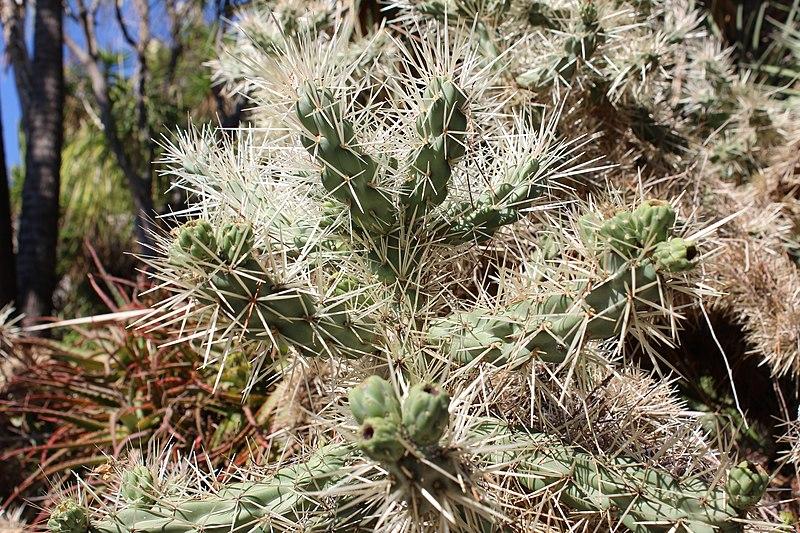 File:Cylindropuntia rosea (Hanbury Gardens).jpg