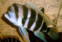 Cyphotilapia frontosa by Ark.jpg