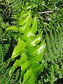 Cyrtomium falcatum (Leaf).jpg