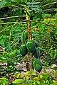 DGJ 0475 - Papaya Fruit (3355136642).jpg