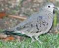 DRbirds Common Ground-Dove 2.JPG