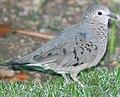 DRbirds Common Ground-Dove 2.JPG