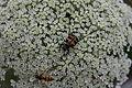 DSC 0198 Insekten auf Möhre.JPG