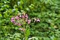 DSC 1699 Nationalpark Donauauen Orchideen.jpg