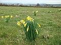 Daffodils growing wild - geograph.org.uk - 1201433.jpg