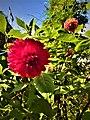 Dahlia Flowers (12).jpg
