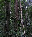 Daintree Rainforest.JPG