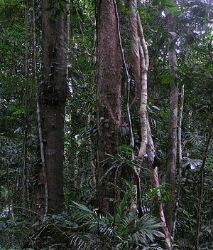Forest ecology - The Daintree Rainforest in Queensland, Australia