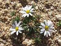 Daisy desertstar (Monoptilon bellidiforme); Cleghorn Wilderness (12525689565).jpg