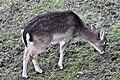 Dama dama - Rapperswil 2011-01-15 16-39-02.JPG