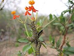 Danaus plexippus-caterpillars.jpg