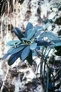 Daphnopsis hellerana.jpg