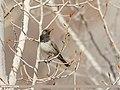 Dark-throated Thrush (Turdus ruficollis) (49810399843).jpg