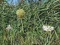Daucus carota - 02.jpg