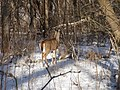 Deer 1 - panoramio.jpg