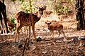 Deer and Fawn.jpg
