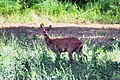 Deer just besides the campsite Les Deux Valleees at Nant - panoramio.jpg