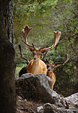 Deer roaming the woods (5466439126).jpg