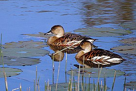 A pair of wandering whistling ducks on the water
