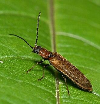 Elateroidea - Denticollis linearis, a click beetle