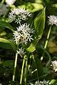 Der Bärlauch (allium ursinum) blüht.jpg
