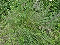 Deschampsia cespitosa, the Tussock Grass, Stewarton, East Ayrshire, Scotland.jpg