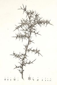Description de l'Égypte (Pl. 21) Salsola echinus.jpg