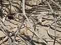 Desert Iguana (5760339498).jpg