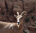Desert bighorn sheep often blend into their surroundings, but can be spotted by the careful eye. (c8c7a089-0b54-4971-b2ba-91ac954e92fb).jpg