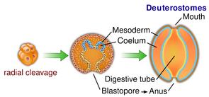 Bei den Neumündern wird der Urmund (Blastoporus) zum Anus, die Mundöffnung wird neu gebildet.