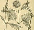 Die Natürlichen Pflanzenfamilien - nebst ihren Gattungen und wichtigeren Arten, insbesondere den Nutzpflanzen (1887-1909.) (20749688649).jpg