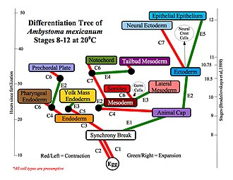 Embryonic differentiation waves - Differentiation Tree of the Axolotl