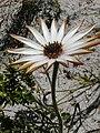 Dimorphotheca nudicaulis Hangklip 04.jpg