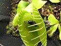 Dionaea, fly. 2.jpg