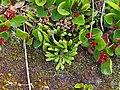 Diphasiastrum alpinum plant (16).jpg