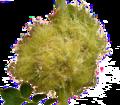 Diplolepis rosae 05 ies transparent bg.png
