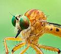 Diptera Asilidae genus Clephydroneura Becker - June 2011.jpg