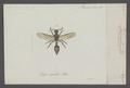 Discoelius - Print - Iconographia Zoologica - Special Collections University of Amsterdam - UBAINV0274 044 02 0004.tif