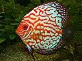 Discus (Symphysodon aequifasciatus) red hybrid (13533123013).jpg