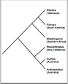 Diselma phylogeny.png