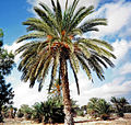 Djerba palmier-dattier.jpg