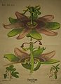 Dodel-Port Atlas Passiflora XXXVII.jpg