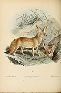 Dogs, jackals, wolves, and foxes- a monograph of the Canidae. With woodcuts, and 45 coloured plates drawn from nature by J.G. Keulemans and hand-coloured (1890) (20962967516).jpg