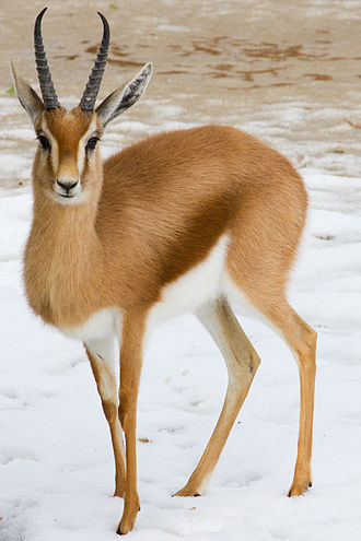 Dorcas gazelle - In Marwell National Park, Zeverey County, Israel