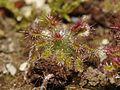 Drosera roseana (1).JPG