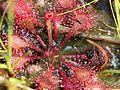 Drosera tokaiensis (leaf s4).jpg