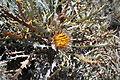 Dryandra sp 2 Charles Gardner NR.jpg