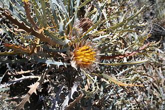 Banksia vestita - flowering at Charles Gardner Nature Reserve