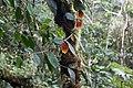 Drymonia hoppii (Gesneriaceae) (29605553941).jpg